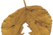 Tannenbaumblatt